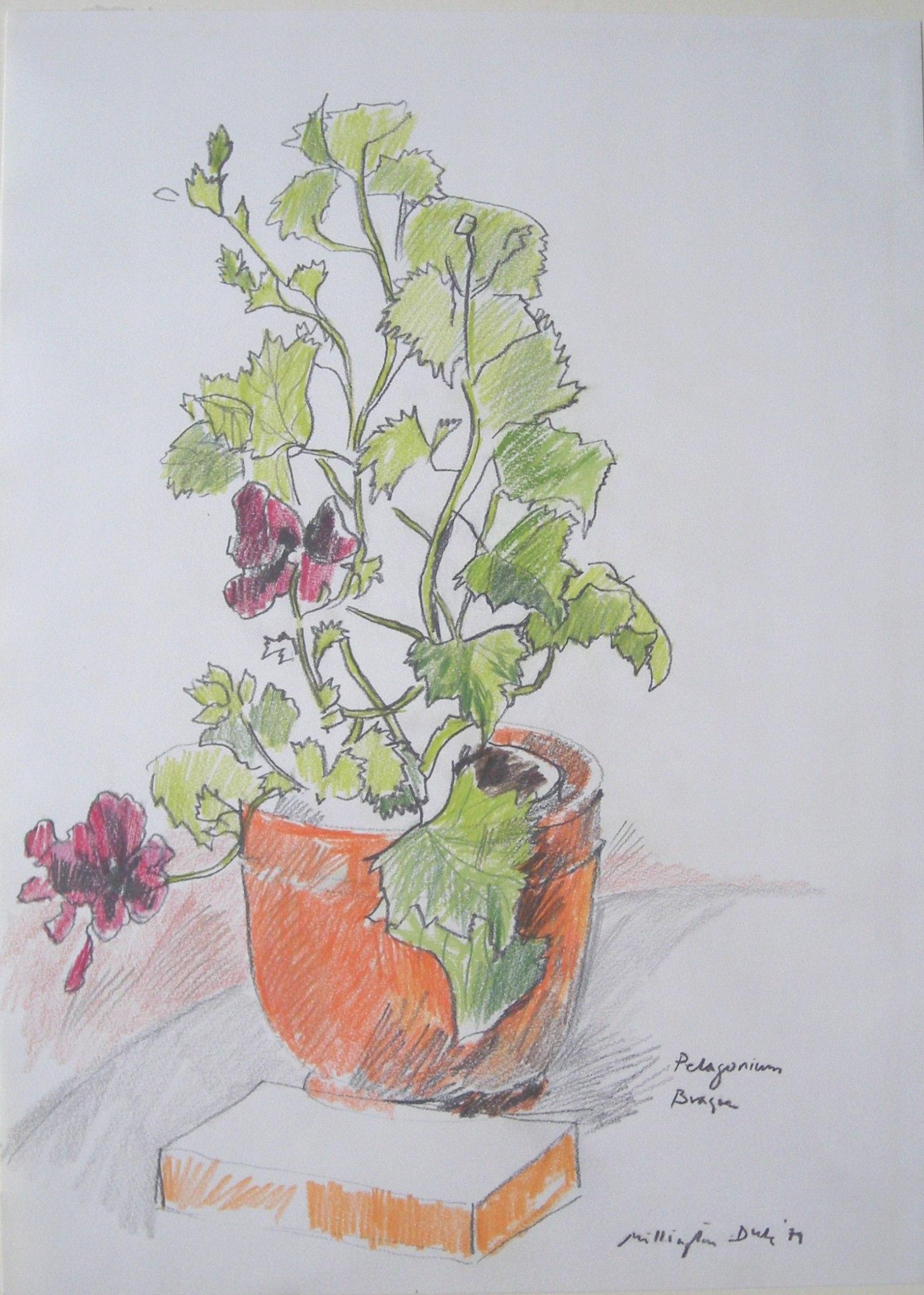 Teddy Millington-Drake - Pelargonium Braque